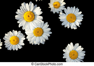 white flowers of daisies on a black background