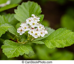 White flowers of hawthorn with pink stamens bloom in the spring garden.