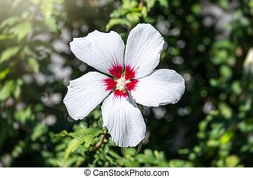 White flowers of Hibiscus grandiflorus, the swamp rosemallow. Close-up of a crimsoneyed rosemallow flower