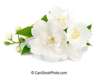 White flowers of jasmine on the whit