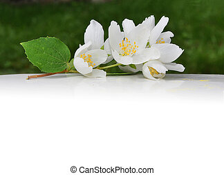 White flowers of jasmine with empty place for your text