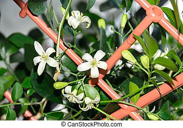 White flowers of Murraya paniculata, Jasminul portocal...