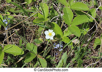 White flowers of strawberry in the garden. Agriculture .