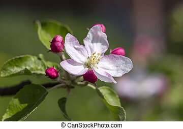 White flowers of the apple blossoms on a spring day. Flowering fruit tree in Ukraine