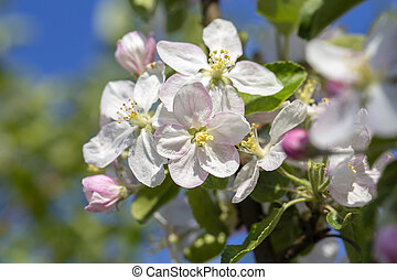 White flowers of the apple blossoms on a spring day over blue sky background. Flowering fruit tree in Ukraine