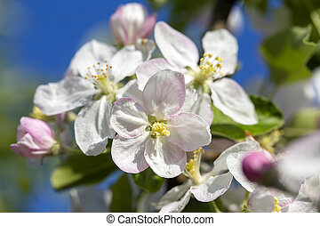 White flowers of the cherry blossoms on a spring day over blue sky background. Flowering fruit tree in Ukraine
