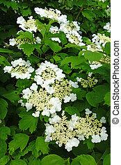 White flowers of the viburnum