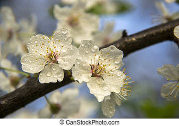 White flowers on a branch of fruit tree