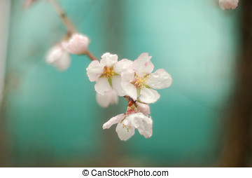 White flowers on almond tree