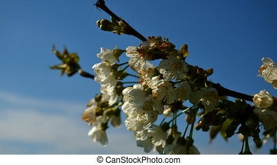 White flowers on blossoming cherry tree in spring. Bunch of cherry flowers and green leaves on cherry tree.