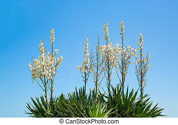 white flowers on blue sky background, bulgaria