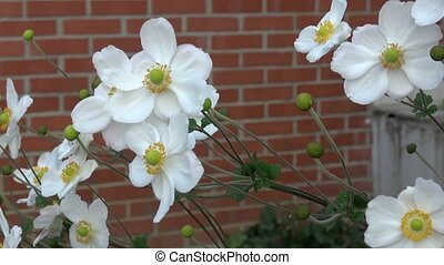 White flowers on brick wall background