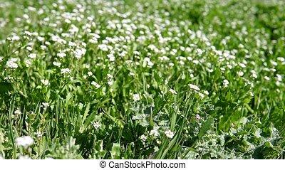 white flowers on green grass 1