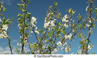 White flowers on sakura branches