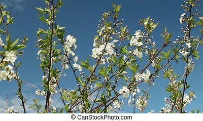 White flowers on sakura branches against the background of a...
