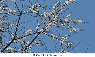 white flowers on sharp branches of a tree camera in motion