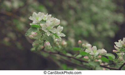 White Flowers on the Branches Apple Tree