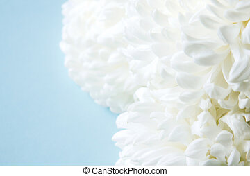 White flowers peonies on a blue background