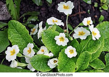 White flowers primrose