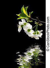 White flowers reflecting in water - Branch with white...