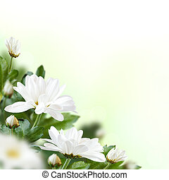 White flowers. - Beautiful white flowers with buds. Floral...