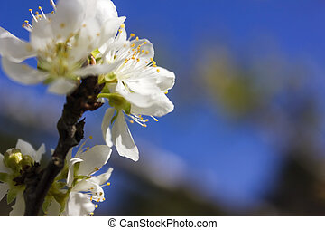 White flowers - Blossoming branch with white flowers