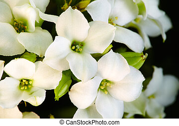 White flowers  - Background of beautiful white flowers