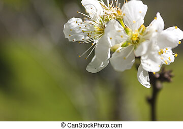 White flowers - Blossoming branch with white flowers.