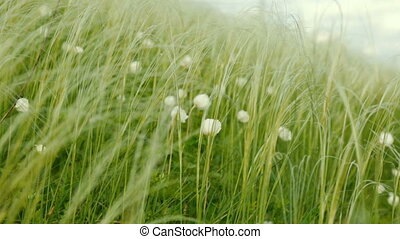 White flowers swaying from wind in summer day