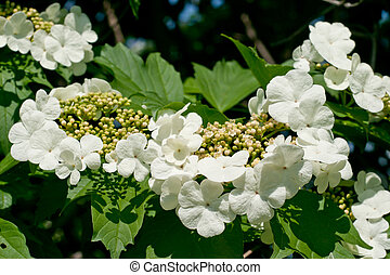 White flowers Viburnum - White delicate flowers Viburnum on...