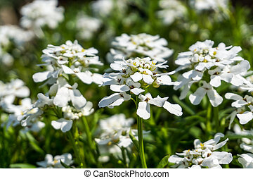 White flowers with green leaves in sunshine