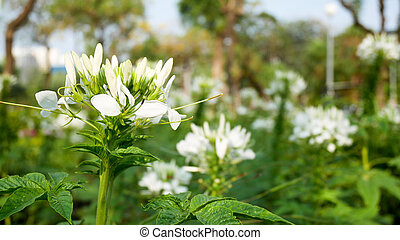 White flowers with green leaves in the garden