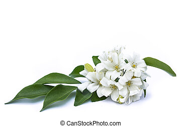 White flowers with green leaves on a white background.