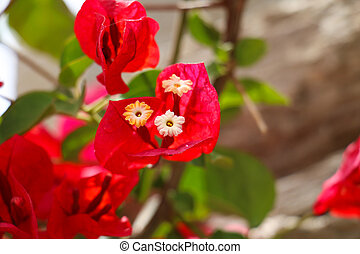 Red bougainvillea flowers with variegated green and white leaves white flowers with red leaves mightylinksfo