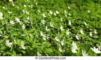 White flowers  wood anemone Spring primroses