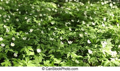 White flowers wood anemone Spring primroses Tremble in the...