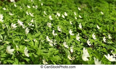 White flowers wood anemone Spring primroses - White flowers...