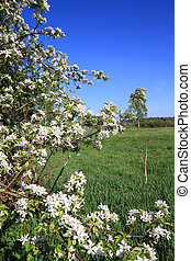 white flowerses on spring aple tree