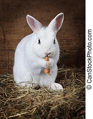 White fluffy Bunny eats a carrot