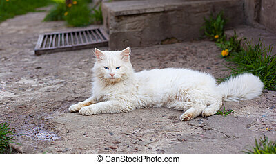 white fluffy cat with blue eyes
