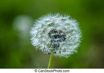 White fluffy dandelion flower on a blurred background.