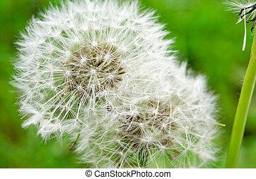 White fluffy dandelion in the spring green garden