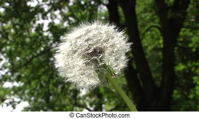 White fluffy dandelion sways in the wind