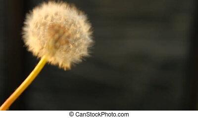 White fluffy dandelion turns on a black background