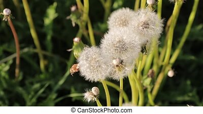 white fluffy dandelions in the courtyard during the day.