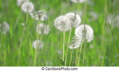 White fluffy dandelions, natural field dandelions lifestyle...