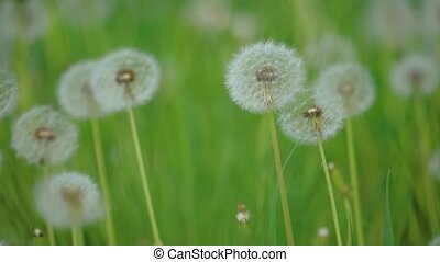 White fluffy dandelions, natural field dandelions slow...