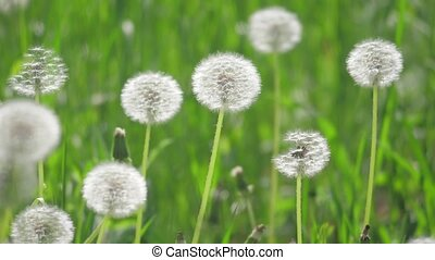 White fluffy dandelions, natural field slow motion video...
