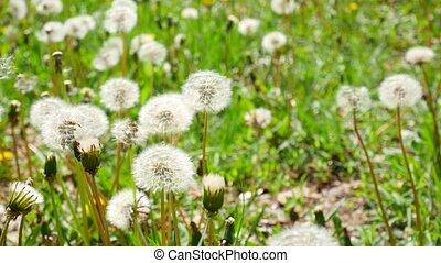 White fluffy dandelions, natural green spring background
