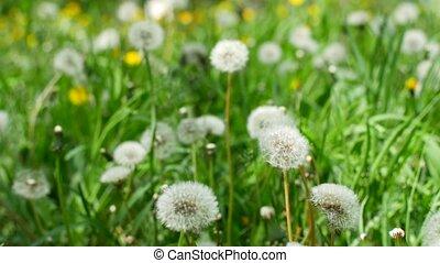 White fluffy dandelions, natural green spring background.